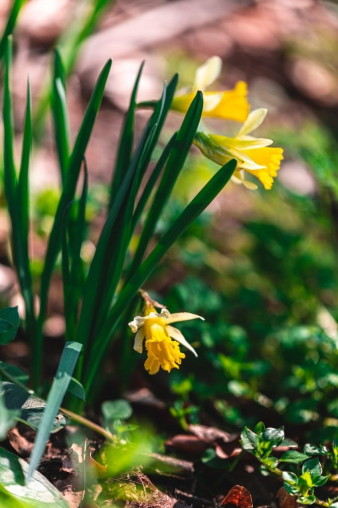 Daffodils, Jersey