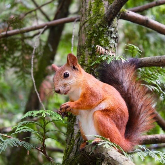 Red Squirrel in Jersey's Woodland Wonders