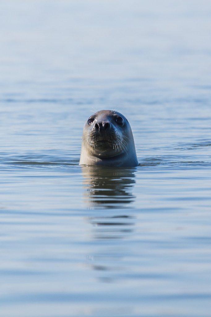 Grey Seals, Alderney, Channel Islands