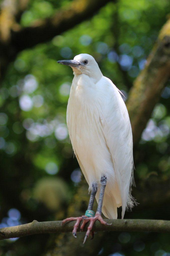 Little Egret, Guernsey