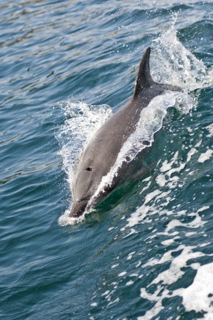 Bottlenose Dolphin, Island of Guernsey