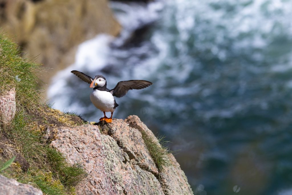 Puffin, Channel Islands