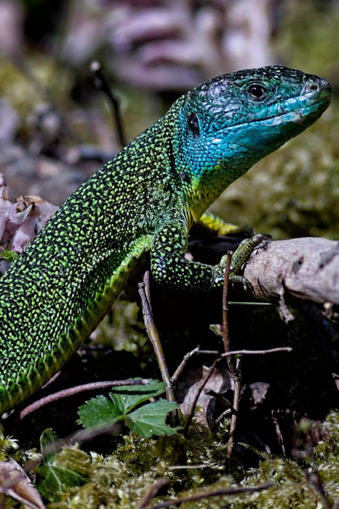 Western green lizard, Jersey