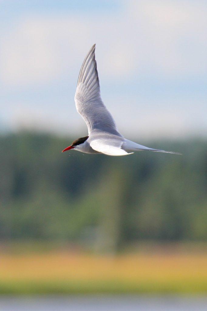 Arctic Tern, Isle of Man