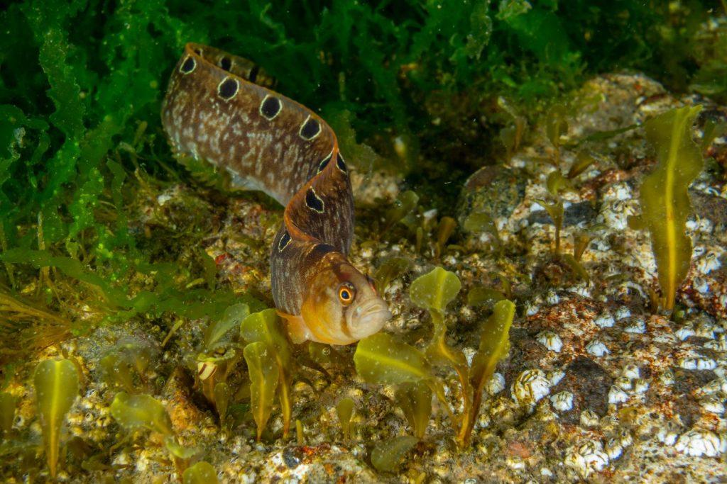 Butterfish, Isle of Man
