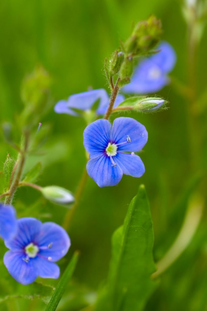 Forget-me-not, Sark