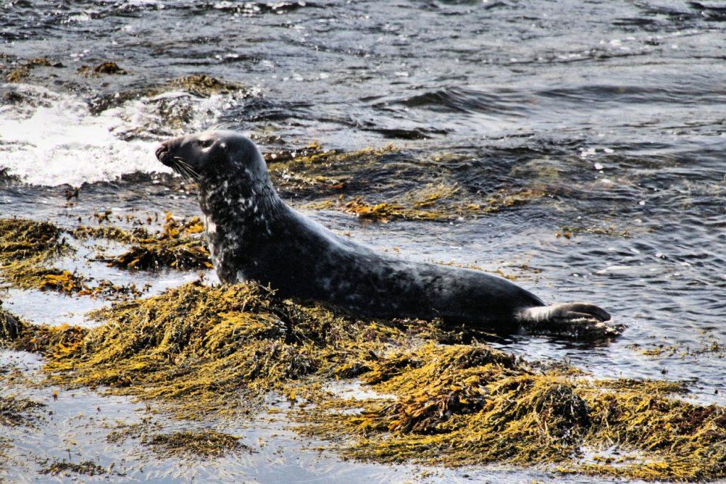 Grey Seal, The Calf of Man