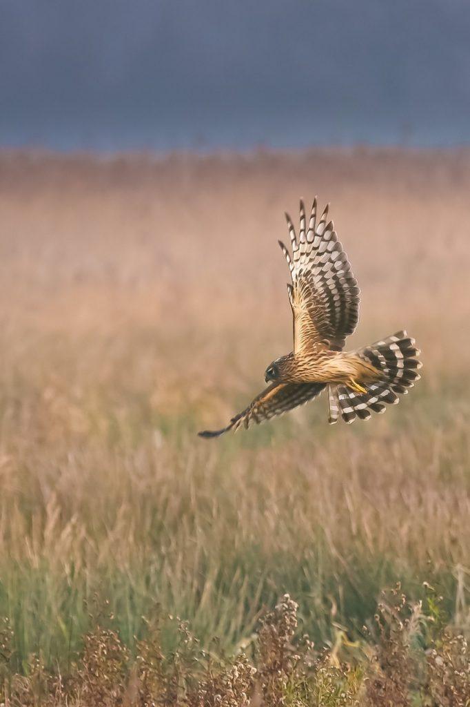 Hen Harrier, Isle of Man
