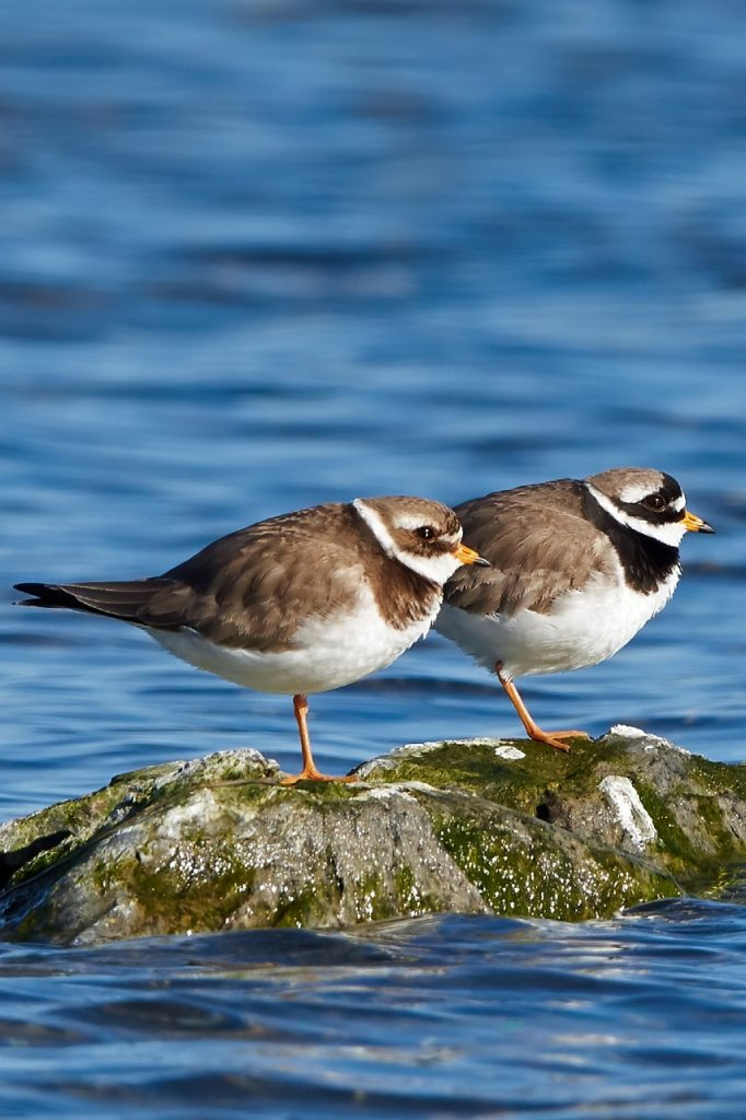 Ringed Plovers, north of Isle of Man