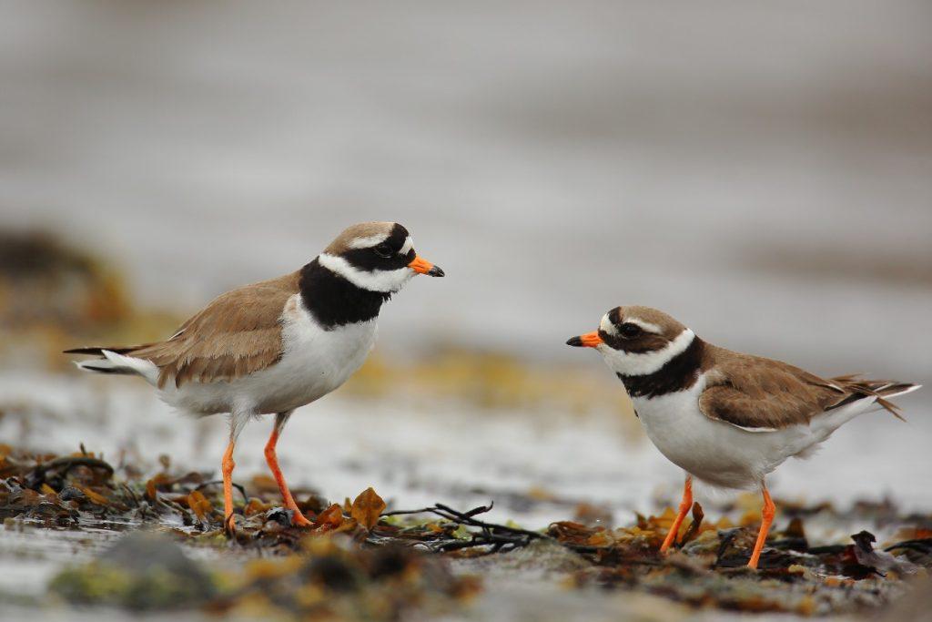 Ringed plovers, Isle of Man