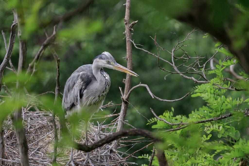 Grey Heron, Guernsey