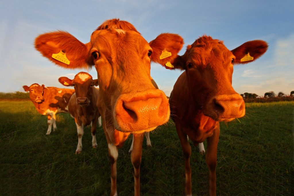 The Guernsey cattle, Channel Islands