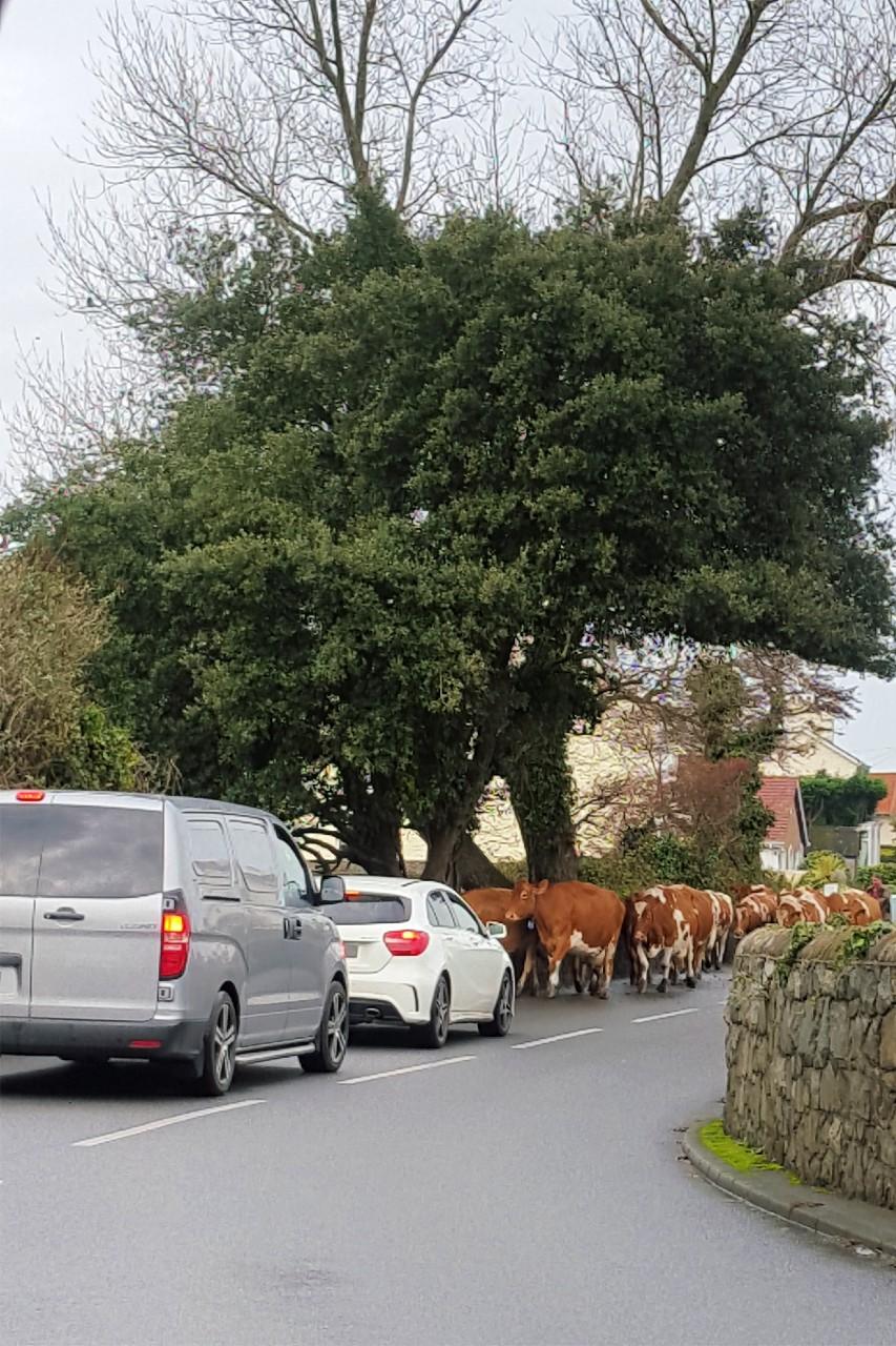Guernsey Cows Traffic Jam