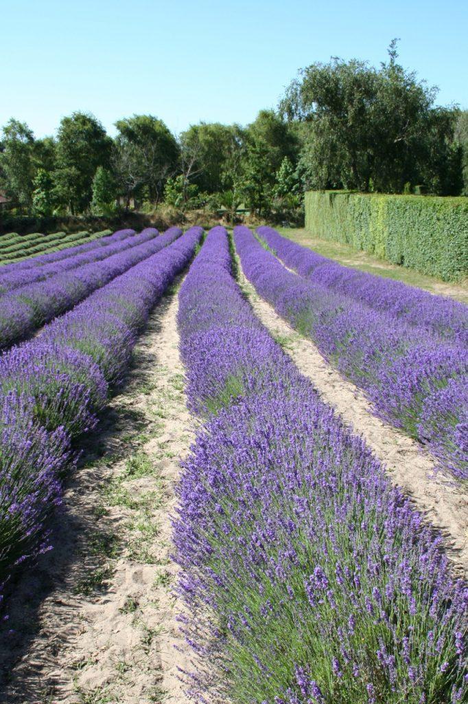 Lavender Farm, Jersey, Channel Islands
