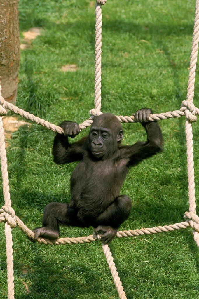 Gorilla Graueri, Jersey Zoo