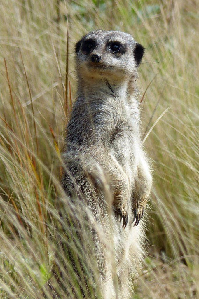Meerkat in long grass at Jersey Zoo